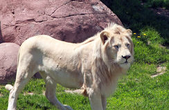 White Lion. A Male white lion with a fierce look standing in front of a rock in Toronto zoo in Canada royalty free stock photography