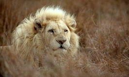 White lion male Stock Photography