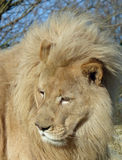 White lion - male. Taken at the Big Cat Sanctuary in Headcorn, Kent Stock Photos