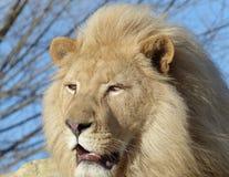 White lion - male Stock Photo