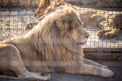 White Lion. Male white lion in the zoo Stock Images