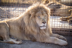 White Lion. Male white lion in the zoo Royalty Free Stock Image
