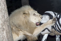 White lion maul a fake zebra Royalty Free Stock Photography