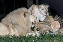 White lion maul a fake zebra Royalty Free Stock Image