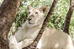 White lion in Mauritius Stock Image