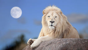 White lion. In moon light