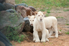 White lion (P. Leo) cubs Stock Photos