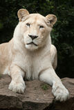 White lion Panthera leo krugeri. Royalty Free Stock Photo