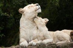 White lion Panthera leo krugeri. Royalty Free Stock Images