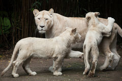 White lion Panthera leo krugeri. Stock Photo