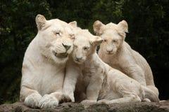 White lion Panthera leo krugeri. Royalty Free Stock Image