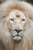 White lion Panthera leo krugeri. Royalty Free Stock Photography