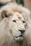 White lion Panthera leo krugeri. Royalty Free Stock Photos