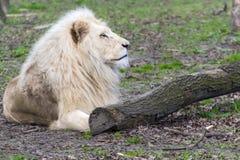 White lion (Panthera leo krugeri) royalty free stock photo
