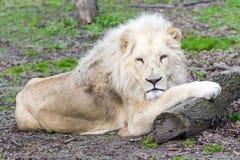 White lion (Panthera leo krugeri) stock photo