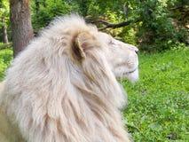 White lion (Panthera leo krugeri) stock photography