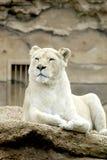 White lion or Panthera leo krugeri Stock Image