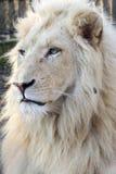 White lion (Panthera leo krugeri) Royalty Free Stock Images