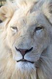 White lion (Panthera leo krugeri) Royalty Free Stock Photos