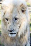 White lion (Panthera leo krugeri) Royalty Free Stock Photography