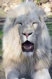 White lion (Panthera leo krugeri) Royalty Free Stock Image
