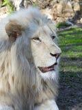 White lion (Panthera leo krugeri) Stock Image