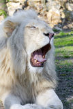 White lion (Panthera leo krugeri) Stock Images