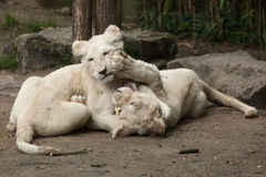 White lion Panthera leo krugeri. Royalty Free Stock Photography