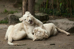 White lion Panthera leo krugeri. Two newborn white lion cubs. The white lion is a colour mutation of the Transvaal lion Panthera leo krugeri, also known as the Royalty Free Stock Images