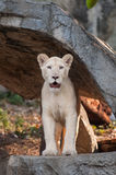 White Lion (Panthera leo) portrait Stock Photos
