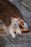 White Lion (Panthera leo) portrait Stock Image