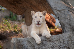 White Lion (Panthera leo) portrait Royalty Free Stock Photo