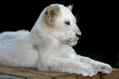 White Lion portrait. Portrait of a magnificent white lion against a dark background and in a Sphinx like pose Royalty Free Stock Photography