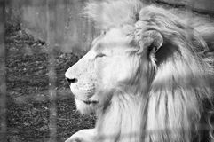 White lion portrait. Profile of beautiful big wild african animal king of white lion cat family with lush mane lying in zoo behind wire netting sunny day outdoor Stock Image