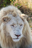 White lion portrait Stock Images