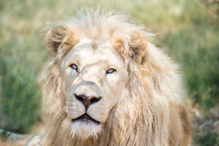 White Lion. Portrait of White Lion in taken south africa Stock Photo