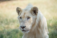 White Lion. Portrait of White Lion in taken south africa Royalty Free Stock Image