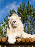 White Lion Posing on Sunny Wooden Platform Stock Photos