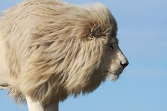 White Lion Prowl. Handsome male white lion watching it's prey intently Stock Image