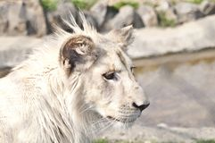 White lion puppy Royalty Free Stock Photos