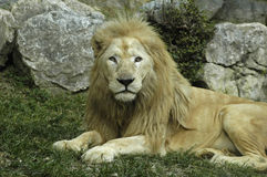 White lion. With quite portrait Stock Images