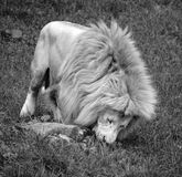 White lion. Is a rare color mutation of the lion. Until 2009 when the first pride of s was reintroduced to the wild, it was widely believed that the  could not Royalty Free Stock Image