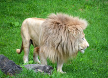 White lion. Is a rare color mutation of the lion. Until 2009 when the first pride of s was reintroduced to the wild, it was widely believed that the  could not Royalty Free Stock Photos