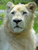 White lion. Is a rare color mutation of the lion. Until 2009 when the first pride of s was reintroduced to the wild, it was widely believed that the  could not Stock Image