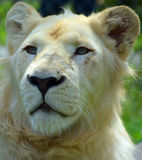 White lion. Is a rare color mutation of the lion. Until 2009 when the first pride of s was reintroduced to the wild, it was widely believed that the  could not Royalty Free Stock Photography