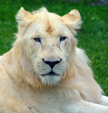 White lion. Is a rare color mutation of the lion. Until 2009 when the first pride of s was reintroduced to the wild, it was widely believed that the  could not Royalty Free Stock Images