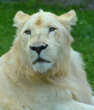 White lion. Is a rare color mutation of the lion. Until 2009 when the first pride of s was reintroduced to the wild, it was widely believed that the  could not Stock Photo