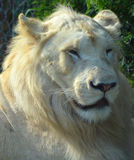 White lion. Is a rare color mutation of the lion. Until 2009 when the first pride of s was reintroduced to the wild, it was widely believed that the  could not Stock Photos