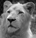 White lion. Is a rare color mutation of the lion. Until 2009 when the first pride of s was reintroduced to the wild, it was widely believed that the  could not Stock Images