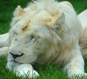 White lion. Is a rare color mutation of the lion. Until 2009 when the first pride of s was reintroduced to the wild, it was widely believed that the  could not Royalty Free Stock Photo